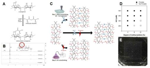 (A) Methacrylated anhydride 치환 kappa carrageenan 제작 모식도. (B) H-NMR에 의한 kappa carrageenan과 MA-k-CA의 spectra. (C) MA-k-CA 의 이중 경화 메커니즘 모식도. (D) 3D 바이오프린팅을 위한 MA-k-CA 및 KCl 농도 최적화. (E) 3D 바이오프린팅 construct (3 layer)