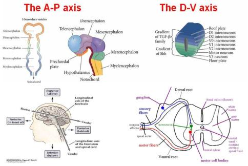 A-P, D-V axis에 따른 전,중,후뇌의 발달 및 운동뉴론, 감각뉴론의 방향 결정