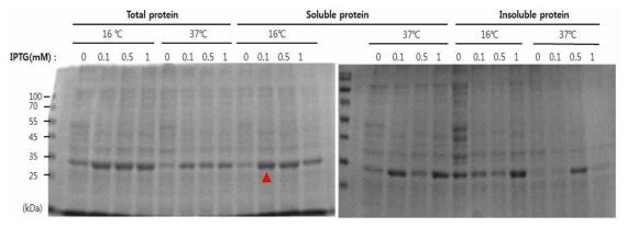E. coli BL21 주에서 SFTSV NP 단백질 발현 조건 성립. 0.1 mM IPTG, 16℃, 18시간 배양 조건에서 가장 효율적으로 단백질이 발현됨