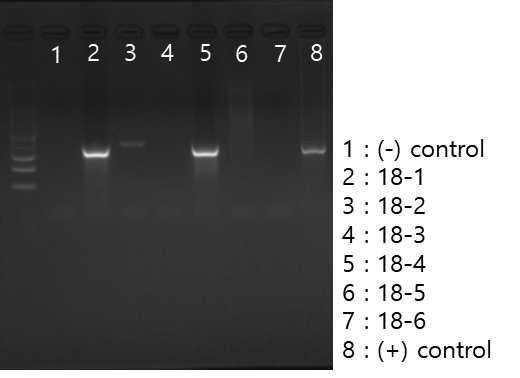 Vero 세포 상층액에서 SFTSV 항원 검출