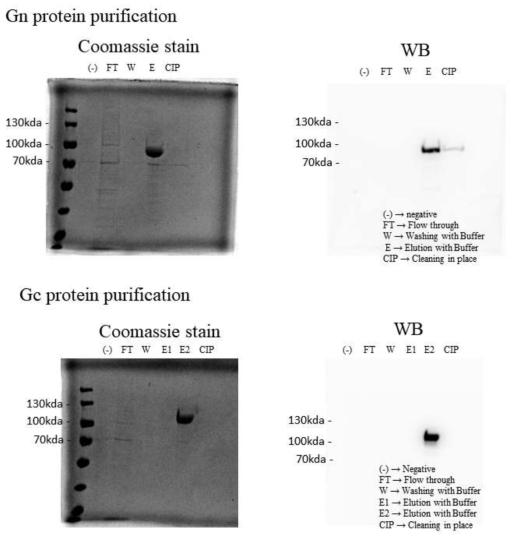 SFTSV Gn과 Gc 재조합단백질 발현 여부를 Coomassie blue 염색과 western blot으로 확인함