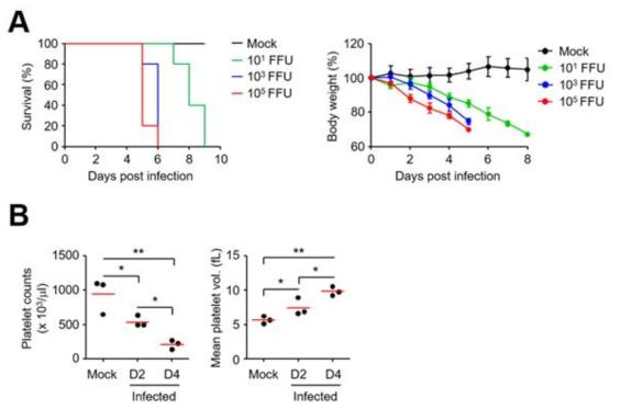 IFNR KO 마우스에 SFTSV 감염 시킨 후, 생존률(A 우측), 체중변화(A 좌측), 혈소판수와 혈소판 용적량 수치(B)