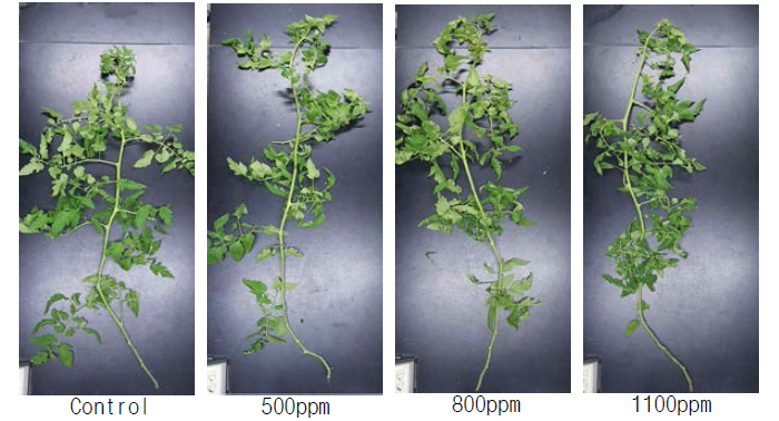 이산화탄소 시비에 따른 토마토 생육 차이(19.12.13)