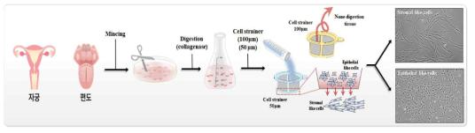2종의 인체 조직 유래 줄기세포 분리 및 배양 모식도
