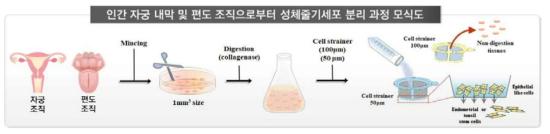인간 자궁 내막 조직으로부터 성체줄기세포의 분리 모식도