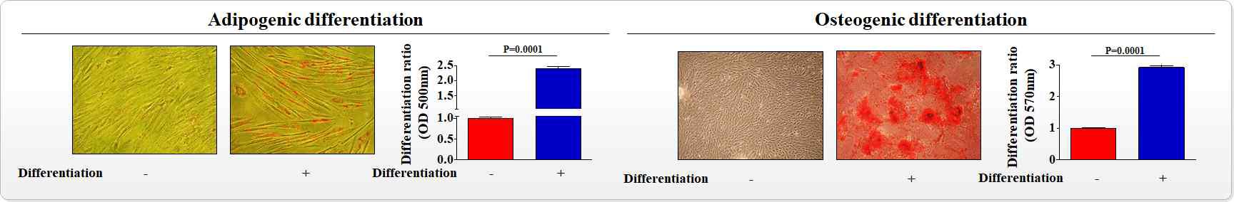 조골 및 지방 세포로의 분화 유도를 통한 자궁 줄기세포의 분화 능력 확인
