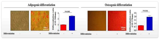 조골 및 지방 세포로의 분화 유도를 통한 편도 줄기세포의 분화 능력 확인